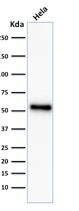 Western blot analysis of Hela cell lysate using p53 Recombinant Rabbit Monoclonal Antibody (TP53/2092R).