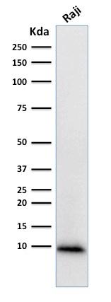 Western Blot Analysis of human Raji Cell lysate using Ubiquitin Mouse Monoclonal Antibody (UBB/1748).