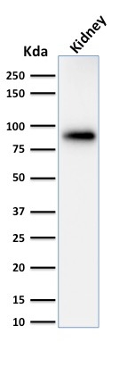 Western Blot of Analysis of Human Kidney Lysate using Calnexin Mouse Monoclonal Antibody (CANX/1543).