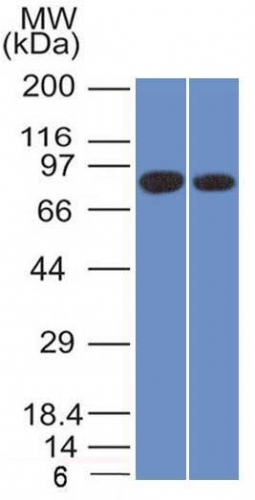 Western Blot of Analysis of PANC1 and MCF-7 Cell Lysate using Calnexin Mouse Monoclonal Antibody (CANX/1543).