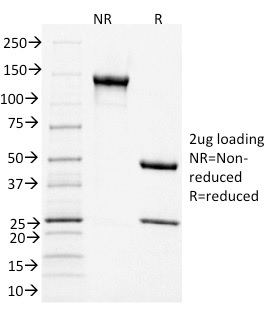 SDS-PAGE Analysis Purified CD3e Mouse Monoclonal Antibody (C3e/1931).Confirmation of Integrity and Purity of Antibody.