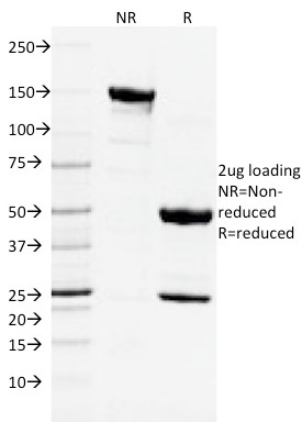 SDS-PAGE Analysis Purified CD3e Mouse Monoclonal Antibody (C3e/2478). Confirmation of Integrity and Purity of Antibody.