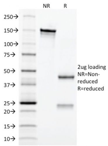 SDS-PAGE Analysis Purified CD3e Mouse Monoclonal Antibody (C3e/2479).Confirmation of Integrity and Purity of Antibody.